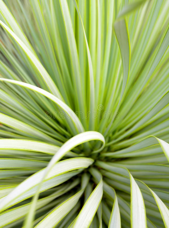 Succulent Yucca plant close-up, thorn and detail on leaves of Narrowleaf Yucca stock photo