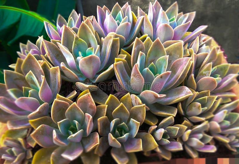 succulente fotografia stock