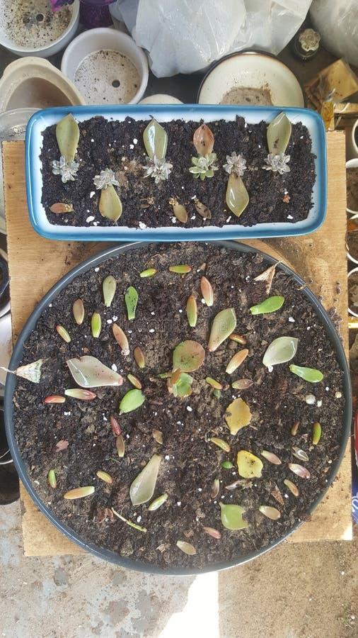 Succulente bladerenopstelling klaar voor propagatiesucces stock afbeeldingen