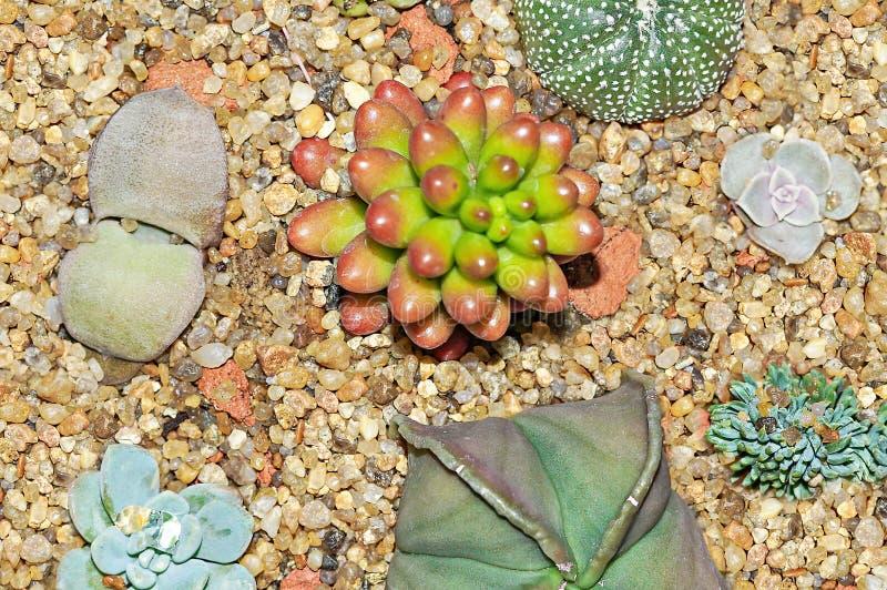 Succulente, Cactus en Lithops-installaties op de gele close-up van tuinstenen royalty-vrije stock foto's