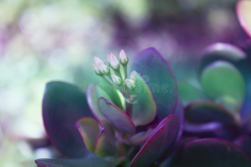 Succulente di Ovata della crassula, pianta della giada, albero di amicizia, pla fortunato fotografia stock libera da diritti