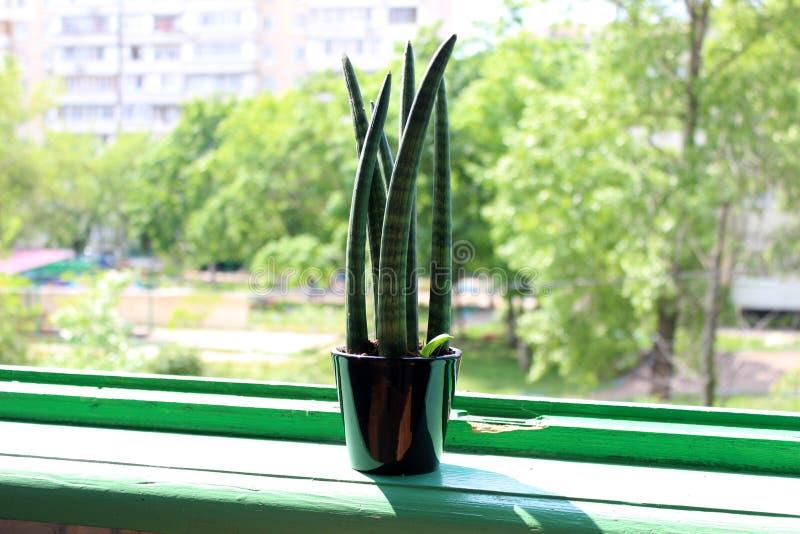 Succulente dichte omhooggaand in een zwarte pot op een groene venstervensterbank royalty-vrije stock afbeelding