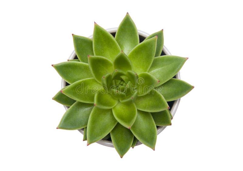 Succulente die de potteninstallatie van Echeveria agavoides op wit wordt geïsoleerd royalty-vrije stock fotografie