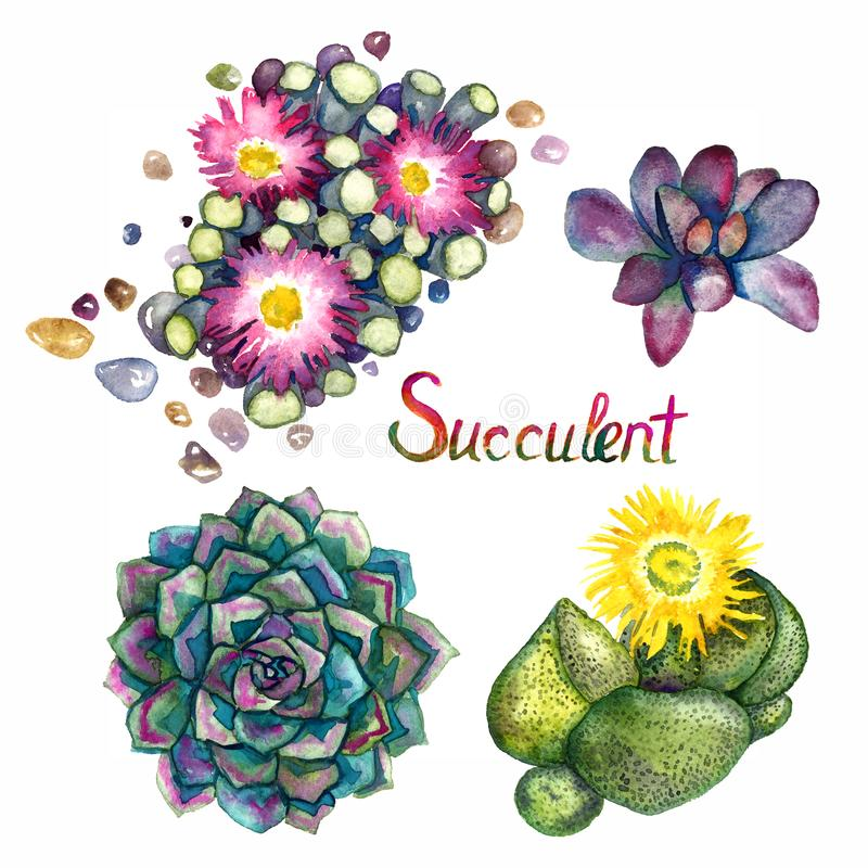 Succulente het bloeien inzameling, Fenestraria-rhopalophylla - Baby` s Tenen, Pleiospilos-compactus, kwaggavy bladeren hoogste me royalty-vrije illustratie
