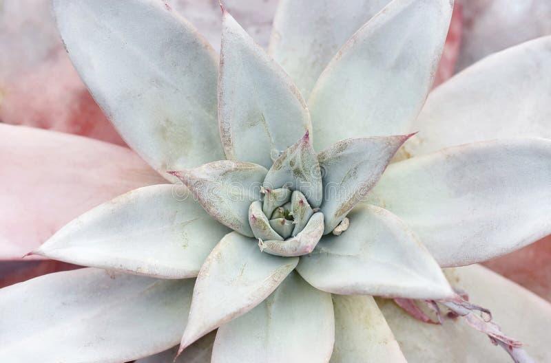 Succulente hoogste menings dichte omhooggaande, natuurlijke achtergrond stock foto