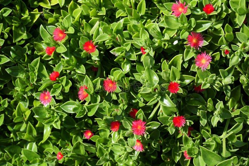 succulente installatie met mooie rode bloemen royalty-vrije stock foto