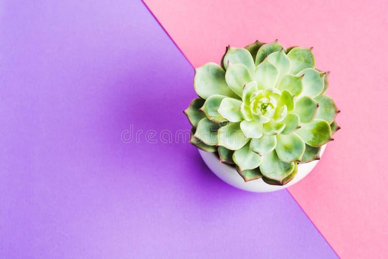 Succulente installatie in pot op roze en purple stock fotografie