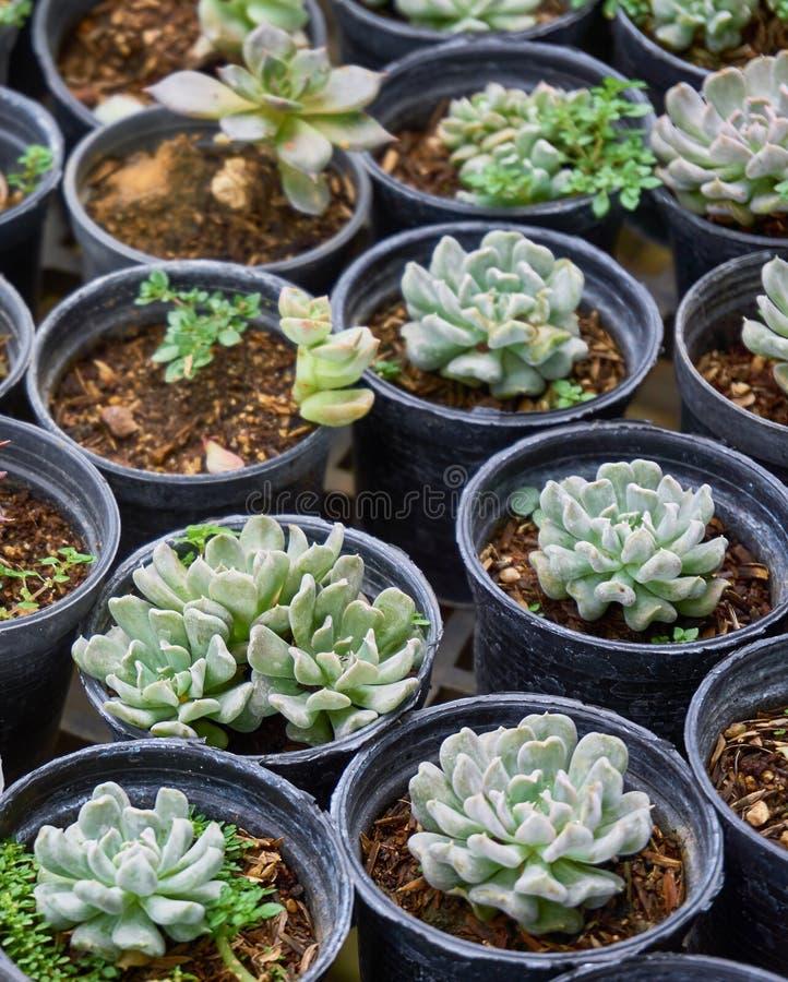 Succulente installaties (echeveria) in de kinderdagverblijfserre royalty-vrije stock foto's