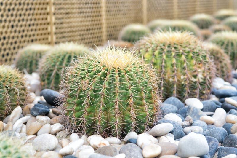 Succulente installaties met netelige stekels royalty-vrije stock fotografie