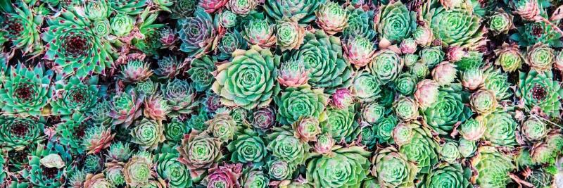 Succulente installaties Natuurlijke achtergrond landscaping royalty-vrije stock afbeelding