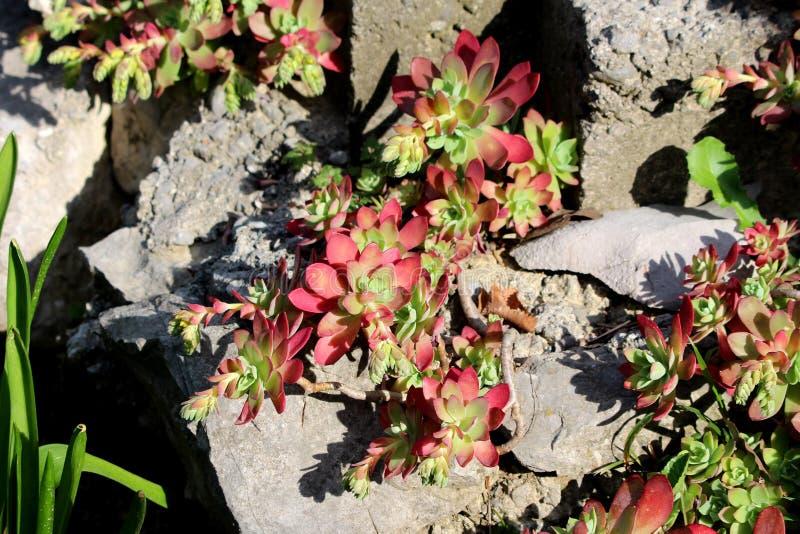 Succulente perenne della foglia variopinta del sedo o di Sedum con le piante di conservazione delle foglie che crescono dai fori  immagini stock