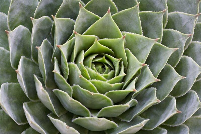 Succulente sempervivum royalty-vrije stock foto