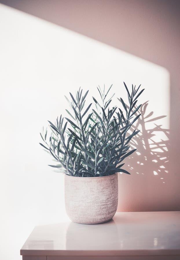 Succulente Senecio serpens of Blauwe Chalksticks in pot op witte lijst bij muurachtergrond, Huisinstallatie royalty-vrije stock foto's