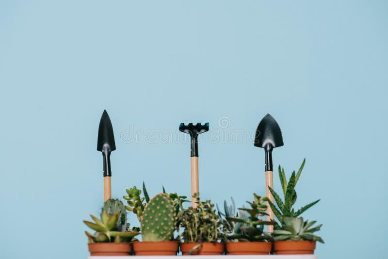 Succulenti verdi in vasi e rastrello con le pale fotografia stock libera da diritti