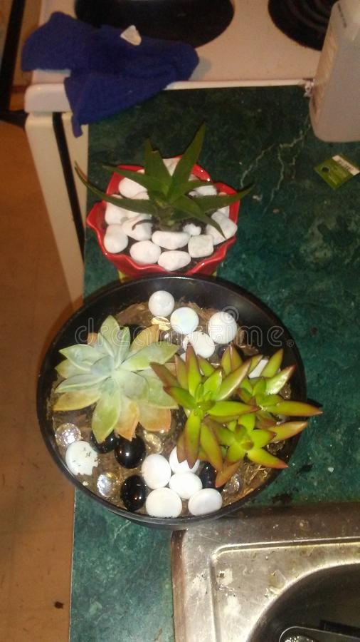 succulents στοκ φωτογραφίες με δικαίωμα ελεύθερης χρήσης