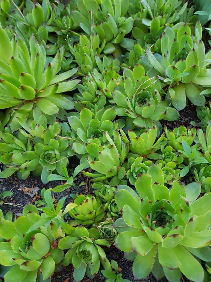 succulents fotografía de archivo