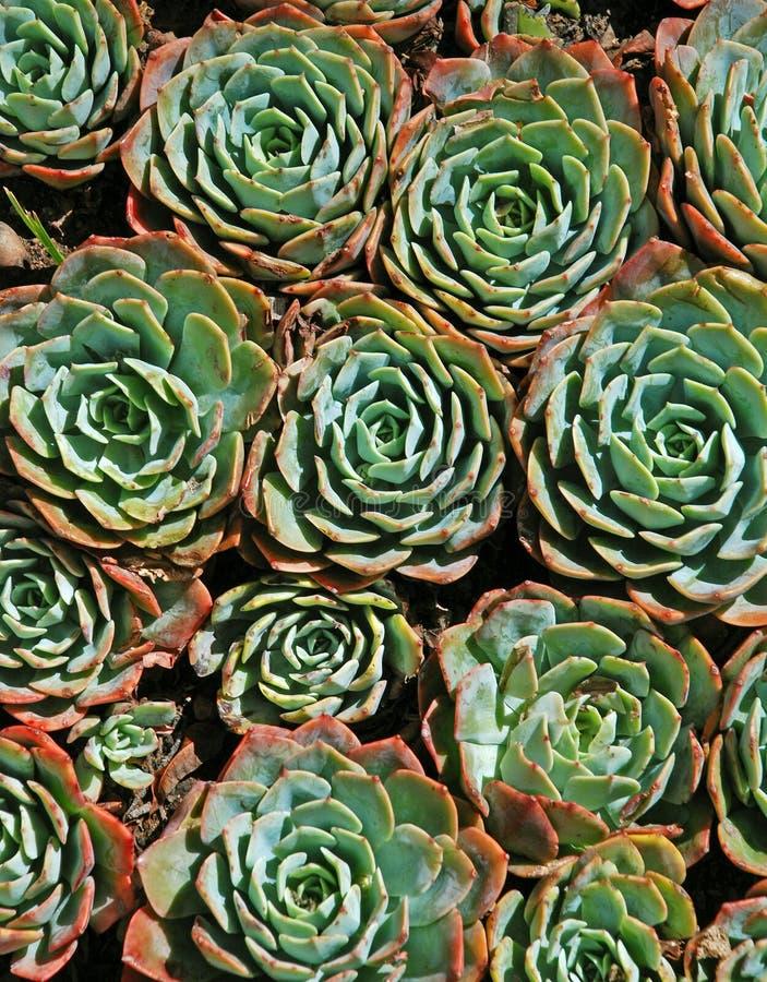 Succulents fotos de stock royalty free