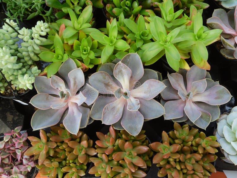 Succulents 6 stock afbeelding