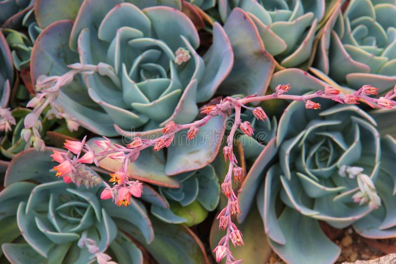 succulents lizenzfreies stockfoto
