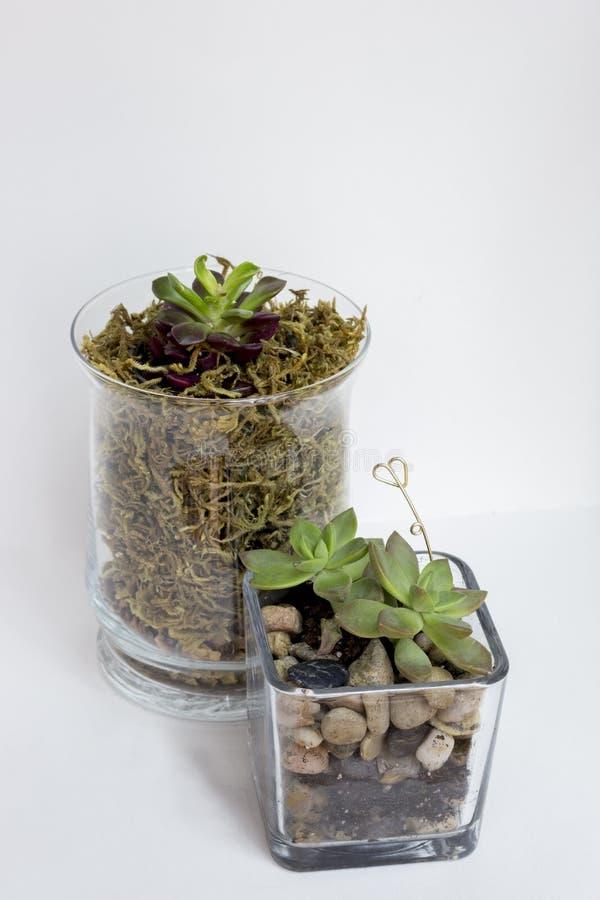 succulents lizenzfreie stockfotos