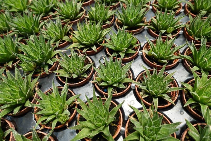 succulents imagens de stock royalty free