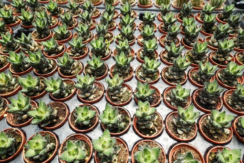 succulents foto de stock