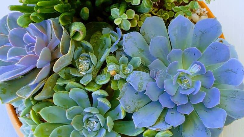 succulents fotografia de stock