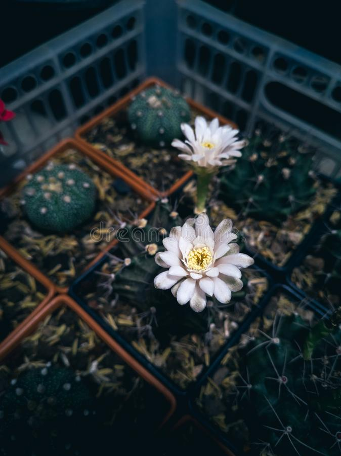 Succulents and Cactus with flower in pots royalty free stock photo