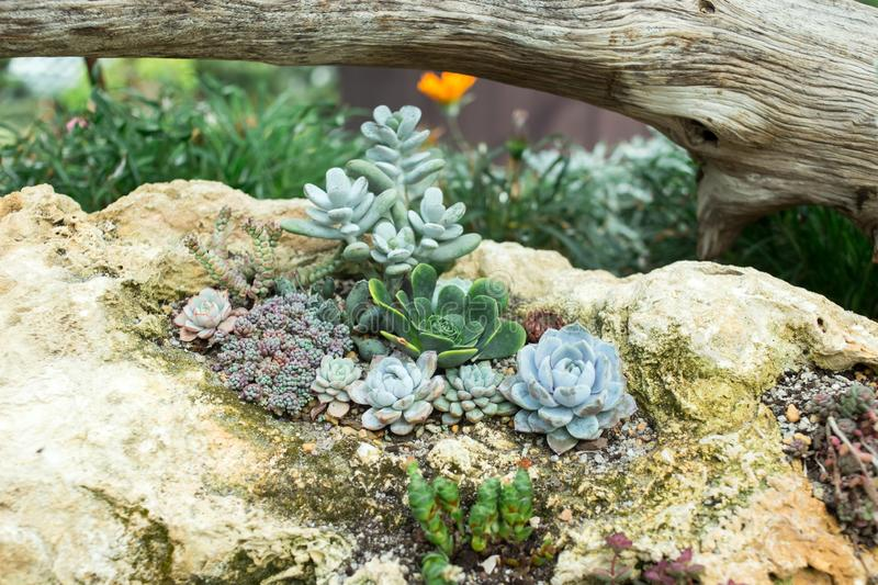 Succulents and cactus in a garden. Echeveria, a stone rose and other cactuses in composition on the stone. Horizontal royalty free stock image
