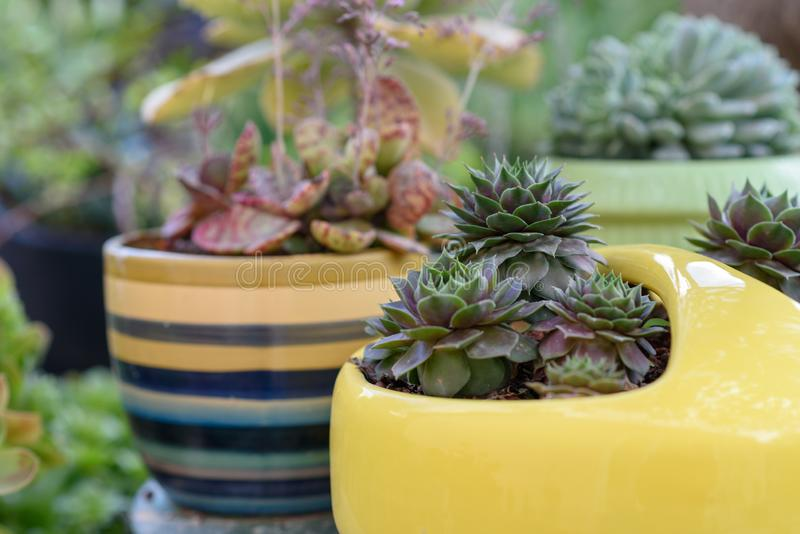 Beautiful succulent plant in yellow flower pot. royalty free stock photo