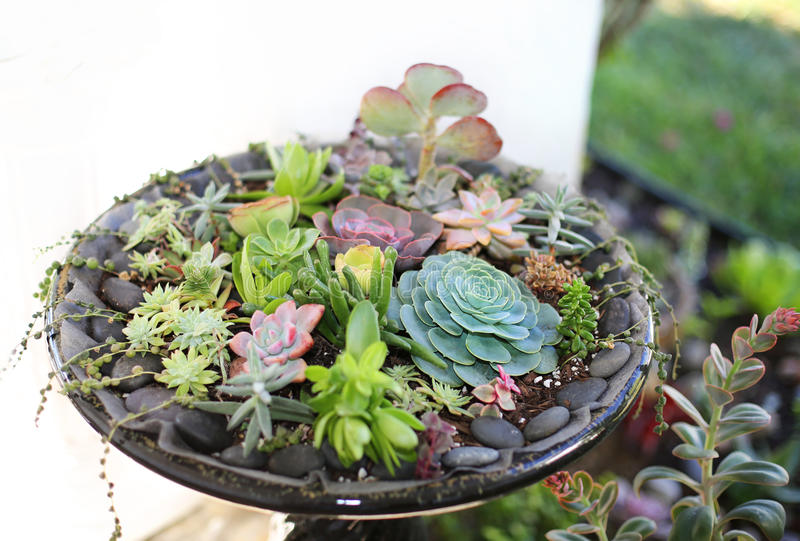 Succulents. Closeup of varieties of succulents planted in bird`s water bath royalty free stock images