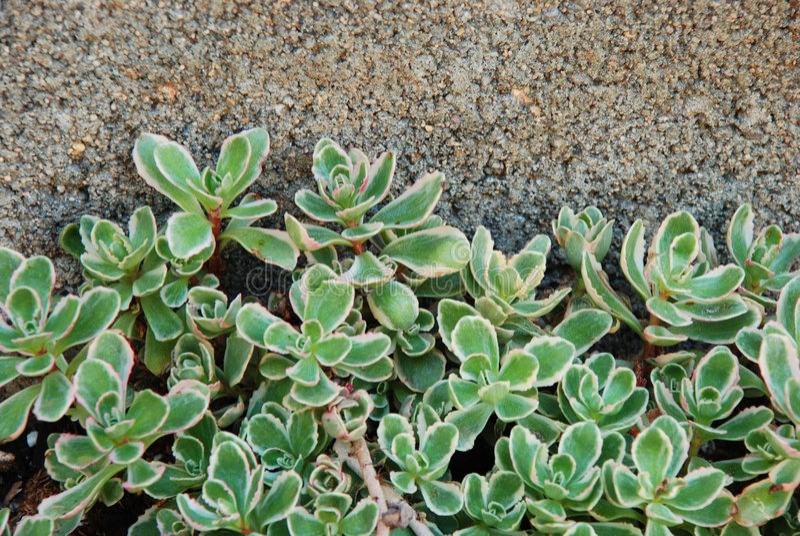 Succulents de escalada imagens de stock