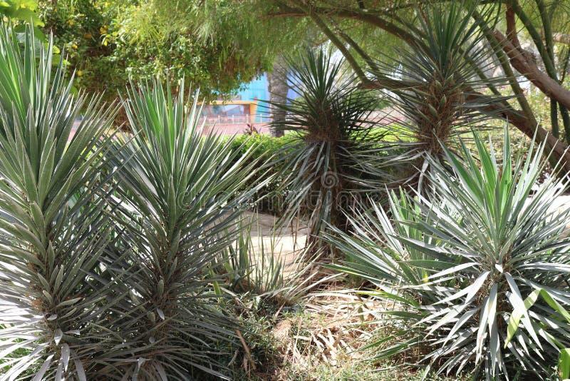 Succulents. Decorative Arab vegetation. Flora of Dubai. Succulent against the background of trees stock photography