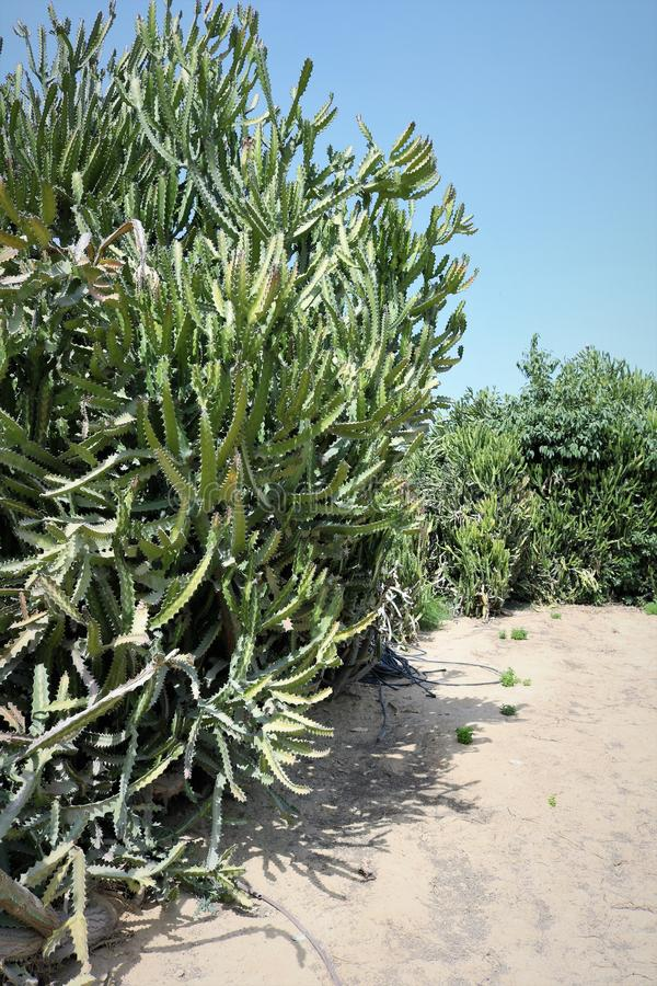 Succulents. Decorative Arab vegetation. Flora of Dubai. Succulent against the background of trees royalty free stock photos