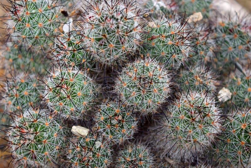 Succulents del cactus vistos desde arriba fotografía de archivo libre de regalías