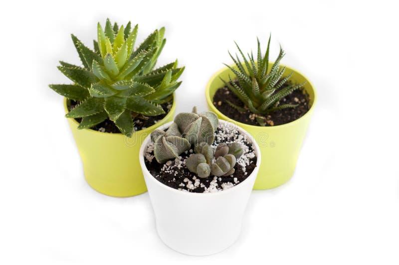 Succulents in den gr?nen und wei?en T?pfen auf einem wei?en Hintergrund Getrennt Haworthia Aloe Vera Lithops Kaktus lizenzfreie stockbilder