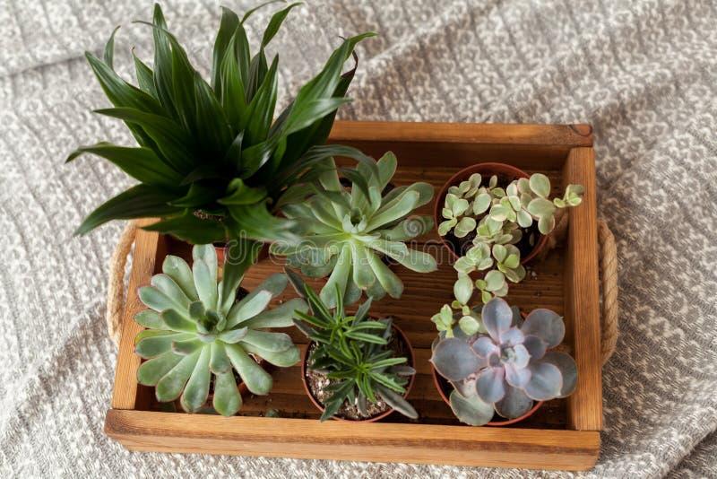 Succulents die zich bij het dienblad op grijs dekbed bevinden stock foto's