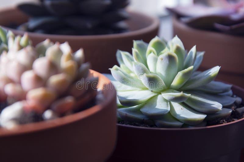 Succulents: diverse echeveria binneninstallaties in potten Mengeling van mooie succulents Levensstijlbeeld stock afbeeldingen