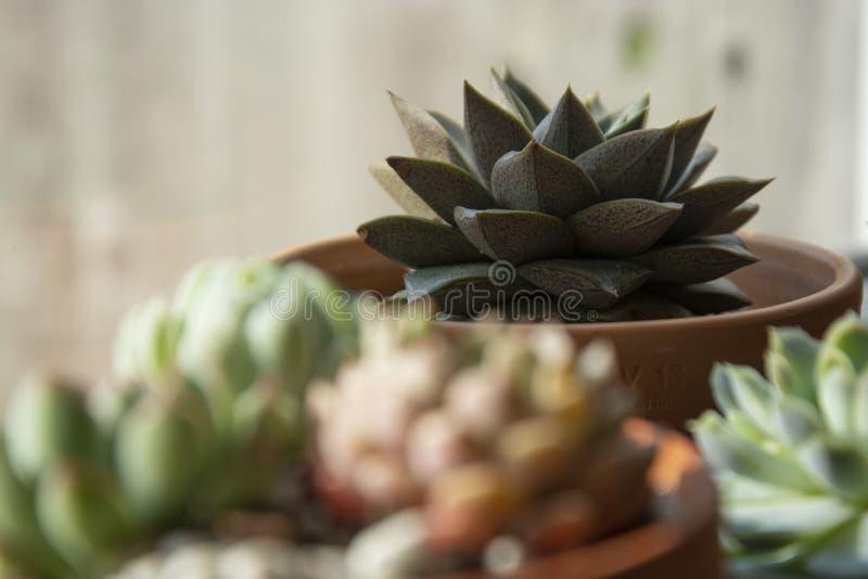 Succulents: diverse echeveria binneninstallaties in potten Mengeling van mooie succulents Levensstijlbeeld stock foto's