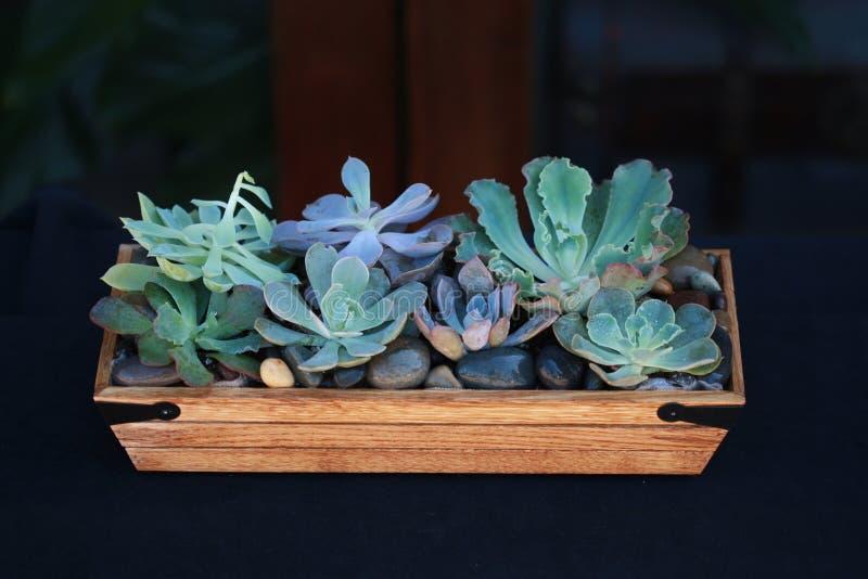 Succulents in een Houten Doosdienblad royalty-vrije stock afbeelding