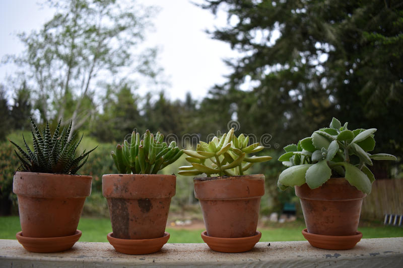 Succulents royalty free stock photo