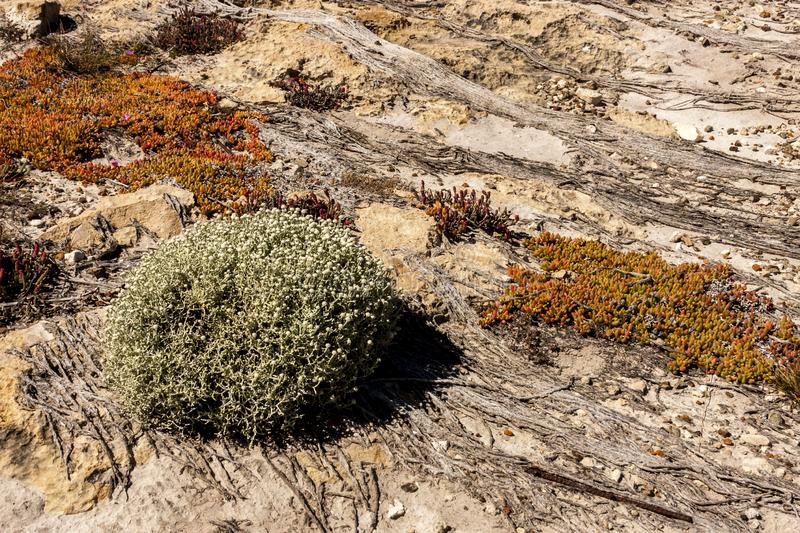 Succulents grow on scanty stony soil. Red center in the Australian desert, outback in Northern Territory, Australia. Red center in the Australian desert, outback royalty free stock images