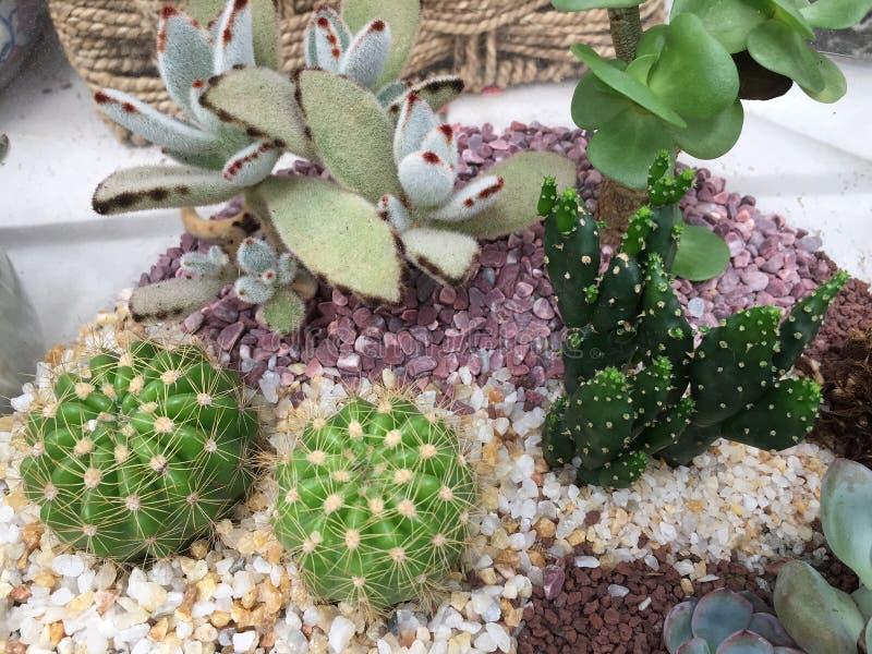 Succulents mélangés s'élevant dans la photo de pot images libres de droits