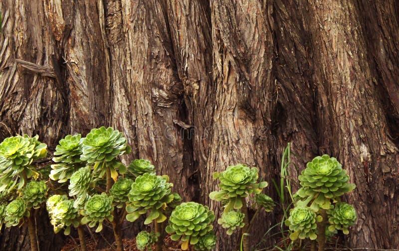 Succulents met de textuurachtergrond van de boomstam royalty-vrije stock afbeeldingen