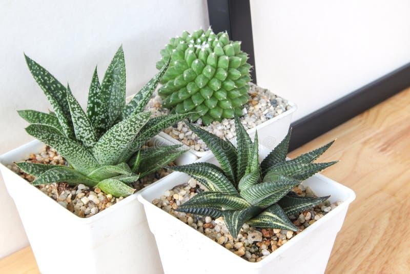 Succulents o cactus en potes concretos sobre el fondo blanco en el estante y la mofa encima de la foto del marco imagen de archivo