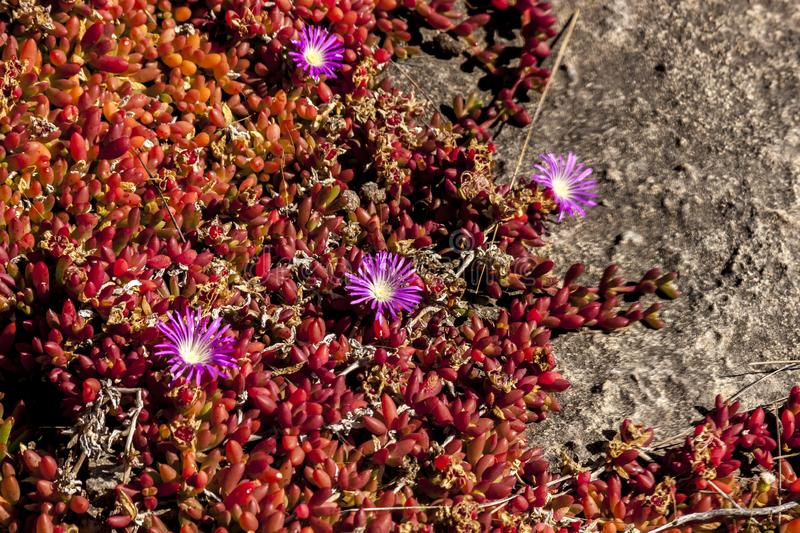 Succulents with pink flowers grow on scanty stony soil. Red center in the Australian desert, outback in Northern Territory. Australia royalty free stock photos