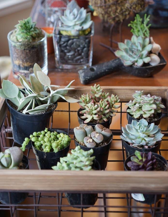Succulents qui aime le soleil sains photos stock