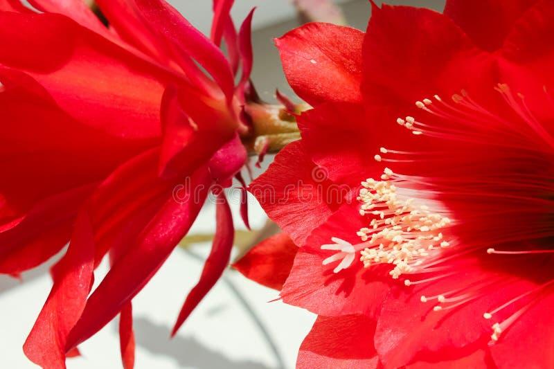 Succulents rode bloemen royalty-vrije stock foto's