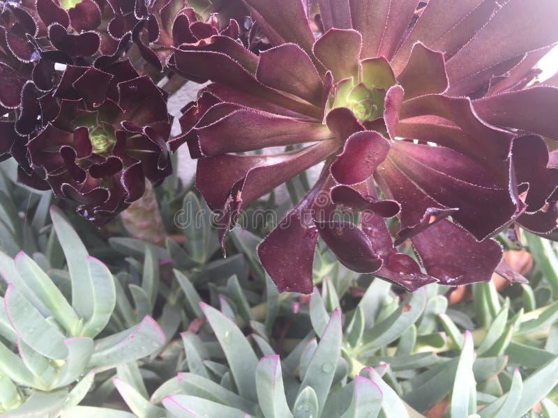Succulents rojos y verdes imagen de archivo