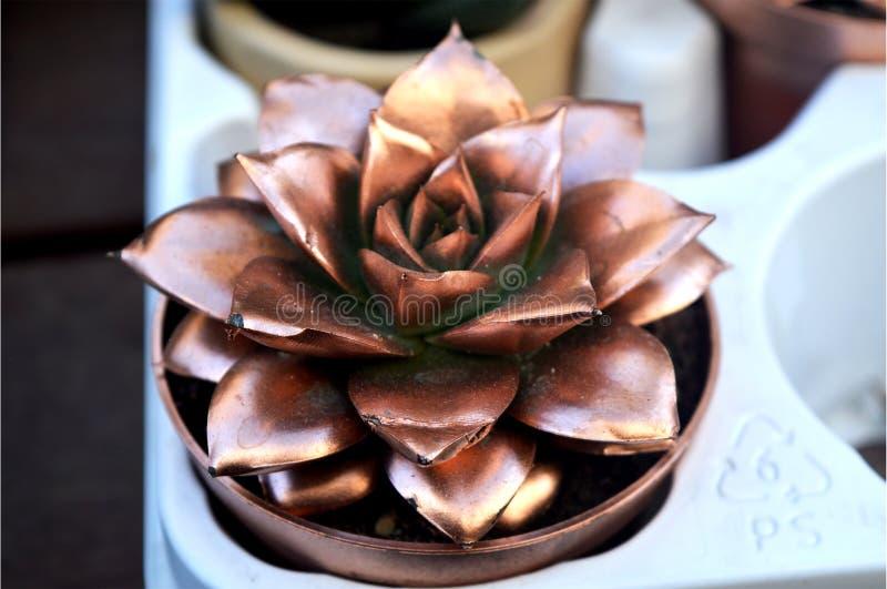 Succulents van bronskleur royalty-vrije stock afbeelding